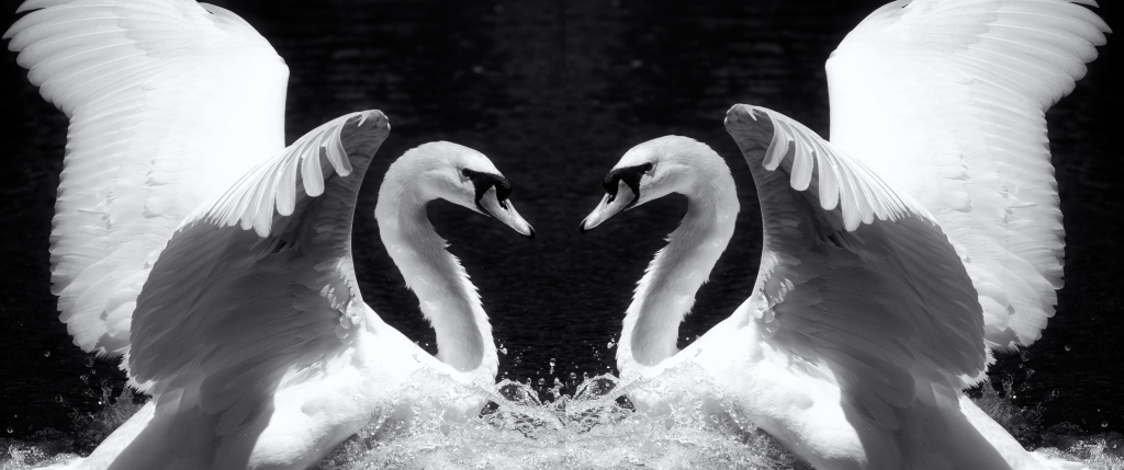 Mirror image of a swan